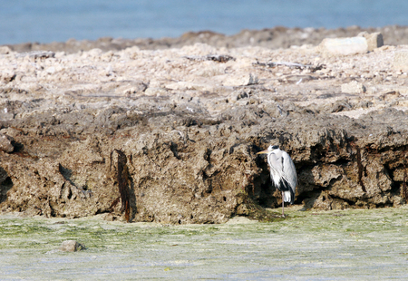 bipedal: Great herons protecting itself from the wind Stock Photo