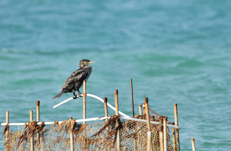 fishing net: A Cormorant on the fishing net