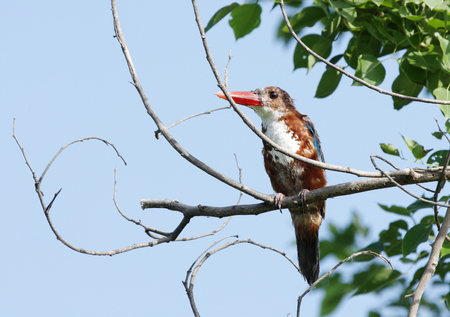 coraciiformes: Beautiful White-throated  Kingfisher
