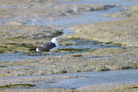 white headed: A beautiful white headed seagull during low tide