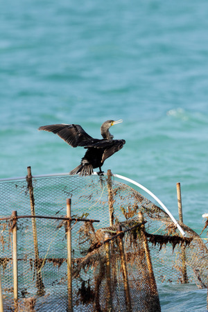 suliformes: A beautiful Cormorant drying its wings