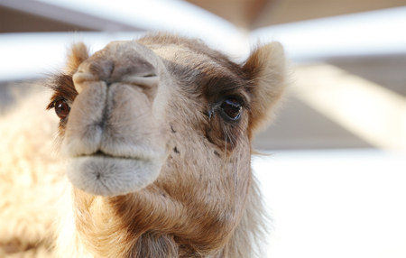 groaning: A portrait of a beautiful camel Stock Photo