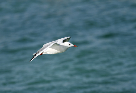 bipedal: A beautiful white headed seagull in flight Stock Photo