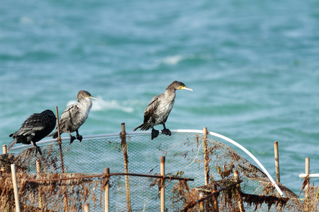 phalacrocoracidae: Beautiful great Cormorants