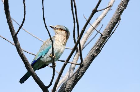 coraciiformes: Indian Roller staring at camera