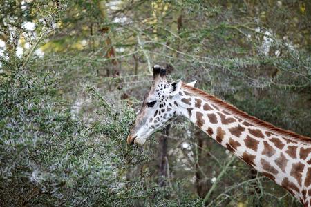 lake naivasha: A beautiful Giraffe in the jungle of lake Naivasha