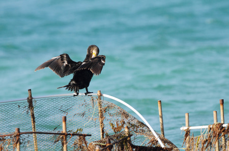suliformes: A Cormorant spreading its wings Stock Photo