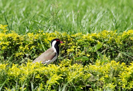hedges: Red-wattled Lapwing in the hedges