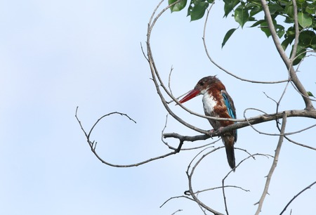 kingfisher: Beautiful White-throated  Kingfisher perched on a tree
