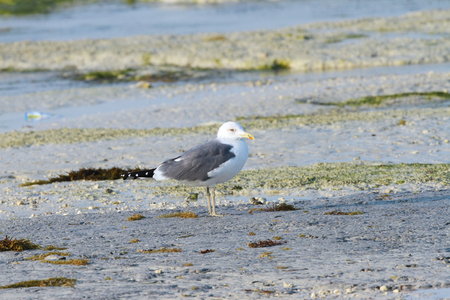 bipedal: Closeup of a  beautiful seagull