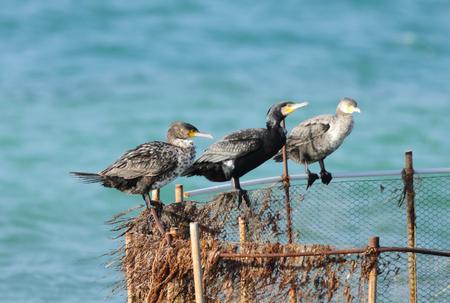 cormorants: Three cormorants on the fishing net Stock Photo