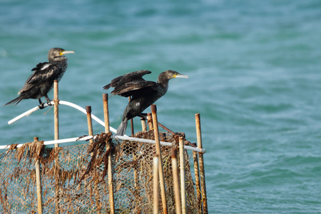 suliformes: Cormorants sitting on the fishing net Stock Photo