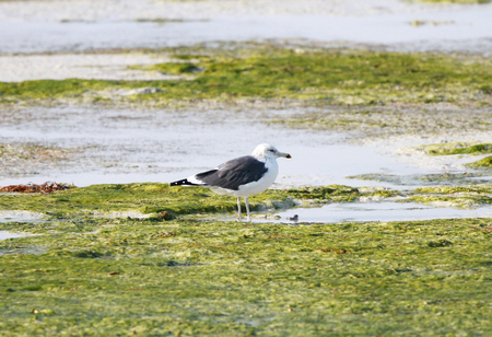 bipedal: A lone seagull on the green sea weeds during low tide