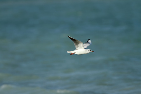 bipedal: A beautiful white headed seagull flying Stock Photo