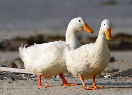 anseriformes: Pair of beautiful domestic ducks