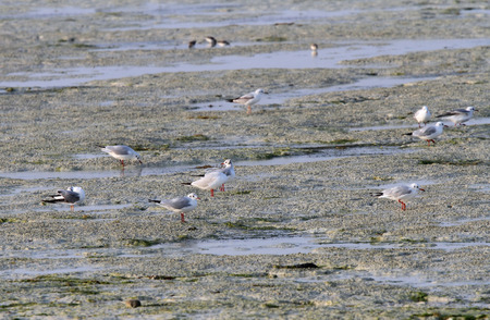 endothermic: Seagulls feeding in the low tide