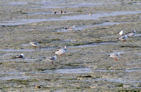 bipedal: Seagulls feeding in the low tide