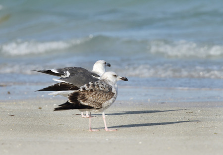 endothermic: Seagulls on the bank of the ocean