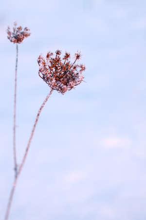 yarrow: yarrow snow ice hoarfrost daylight low inflorescence