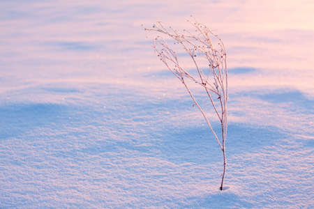 frozen grass snow sunlight low blue purple dry photo