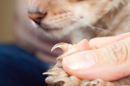Men helps to show cat claw before clipping them Standard-Bild