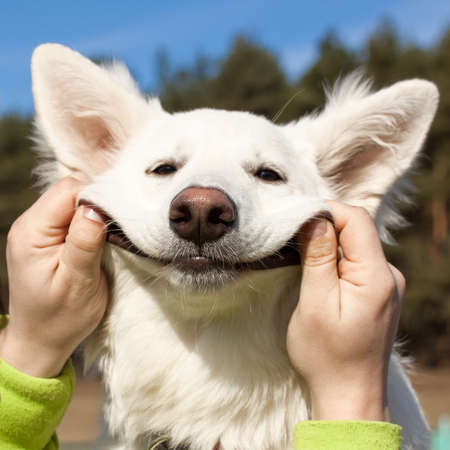 Swiss Shepherd dog smiles with man s help Stock Photo