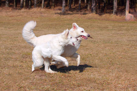 White Shepherd Dogs plays and runs on a field photo
