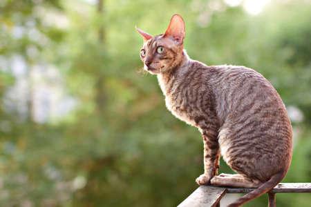 cornish rex: Cornish rex gray cat sitting on railing Stock Photo