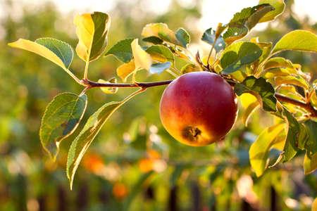 arbol de manzanas: La rama de �rbol con la manzana roja fresca Foto de archivo