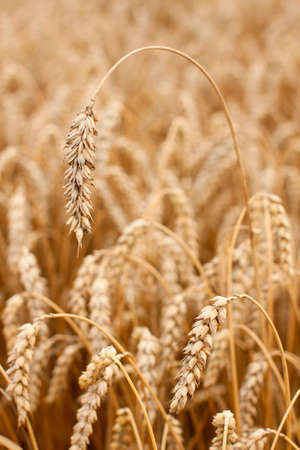 Close up of golden ears of wheat on a field photo