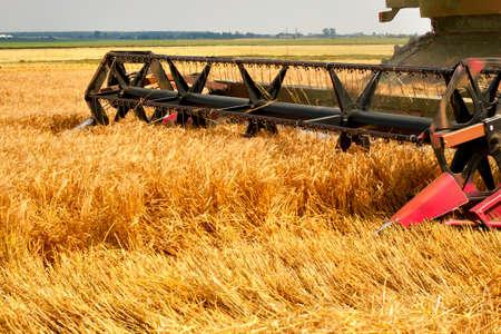 cosechadora: cosechadora trabaja en un campo de trigo
