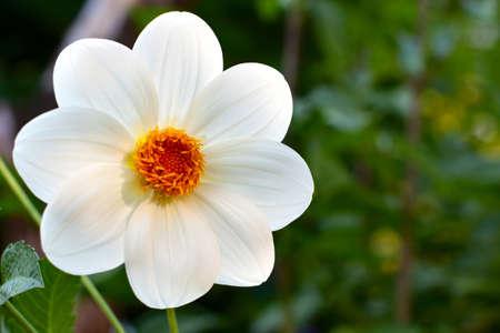 georgina: White georgina Flower   Grade  Vesyolie rebyata   Closeup