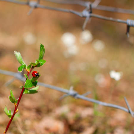 Ladybug sitting on leaf over the barbed wire photo