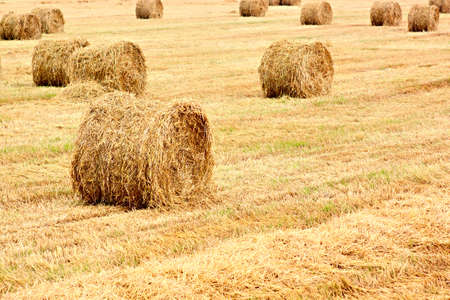 Harvested field with big yellow straw bales photo