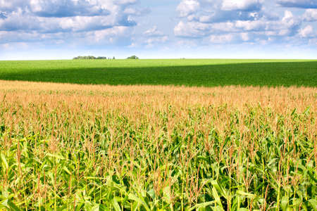 The green field with corn under cloudy sky photo