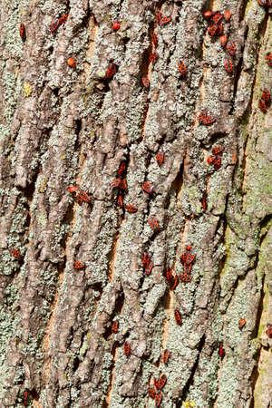 Pyrrhocoris apterus bugs colony on a bark of old tree photo