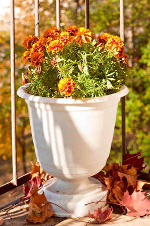 Vase with blooming marigolds on the balcony photo