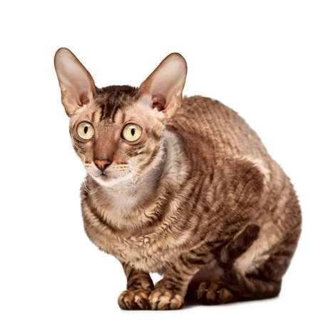 cornish: Beautiful cornish rex cat sitting. Isolated on white