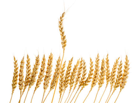 Number of ears of wheat, one of which rose above all  Stock Photo