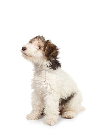 Fox Terrier puppy, 3 months old, sitting in front of white background