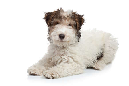 spotted dog: Fox Terrier puppy, 3 months old, laying in front of white background Stock Photo