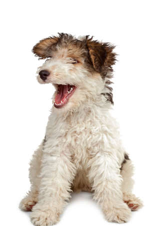 gaping: funny fox terrier puppy with open jaws on white background