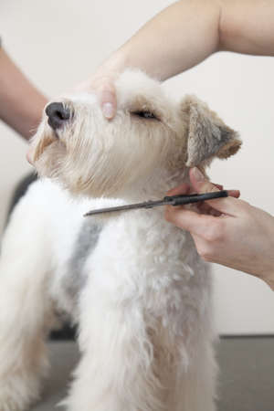 dog grooming: Fox terrier getting his hair cut at the groomer