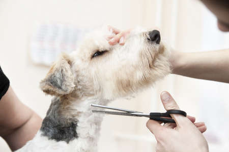 Fox terrier getting his hair cut at the groomer