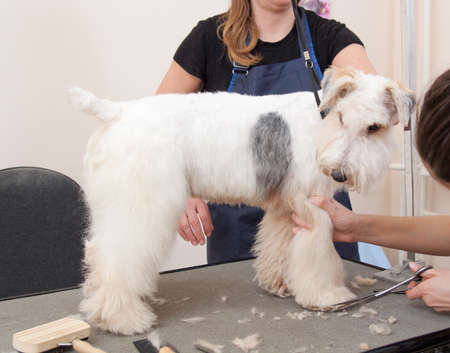 Hairdresser mows coat fox terrier on the paw in salon Archivio Fotografico