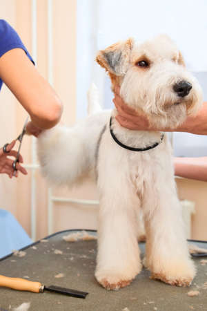 Hairdresser mows fox terrier hair on the hind paw in salon