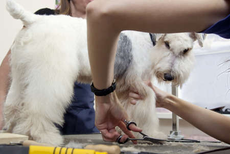 mows: Hairdresser mows coat fox terrier on the paw in salon Stock Photo