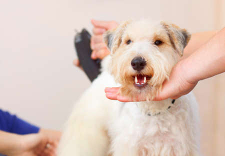 Hairdresser mows fox terrier fur on the back with a trimmer Archivio Fotografico