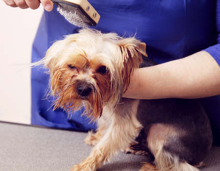 Yorkshire Terrier getting his hair cut at the groomer Stock Photo - 19090383