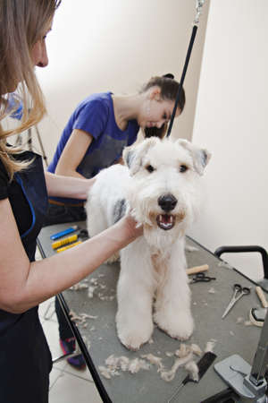 groomer: Fox terrier getting his hair cut at the groomer